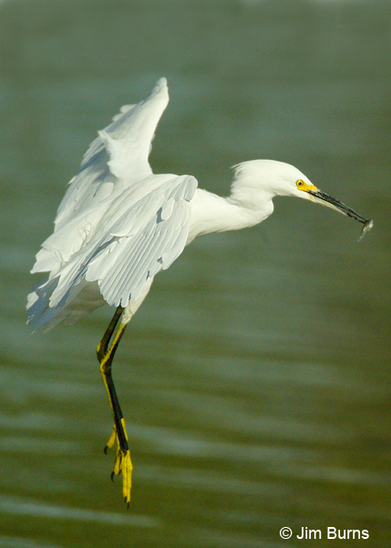 Snowy Egret taking off with breakfast