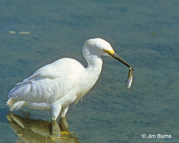 Snowy Egret with breakfast