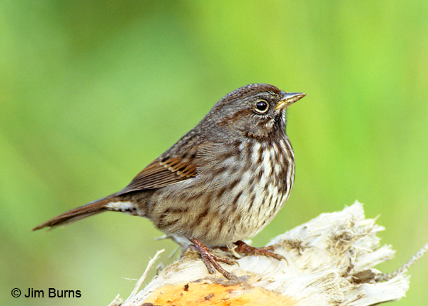 Song Sparrow maxima race