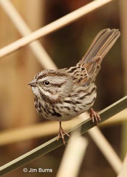 Song Sparrow pusillula race