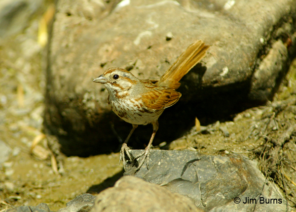 Song Sparrow saltonis race