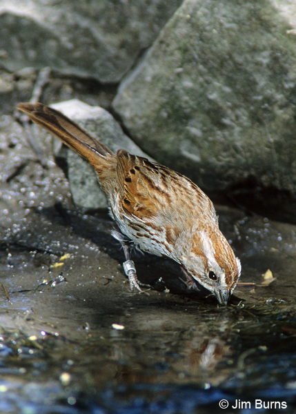 Song Sparrow with leg band