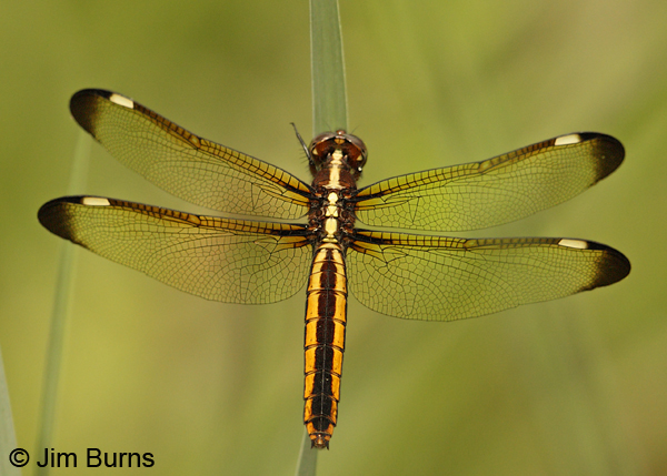 Spangled Skimmer - photo#12