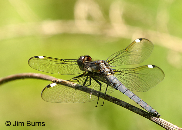 Spangled Skimmer male, Gaston Co., NC, May 2017