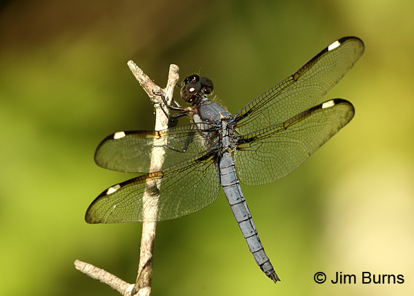 Spangled Skimmer male, Montgomery Co., NC, May 2017