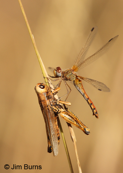 Spot-winged Meadowhawk female with grasshopper, Cochise Co., AZ, October 2012