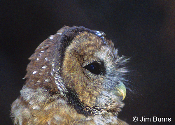 Spotted Owl juvenile head shot