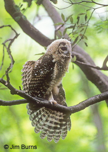Spotted Owl juvenile wingstretch