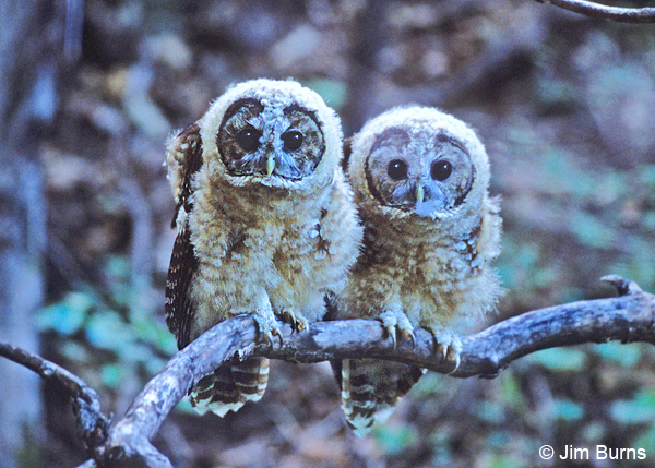 Spotted Owl siblings