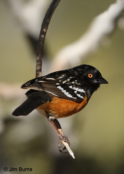 Spotted Towhee male dorsal shadows