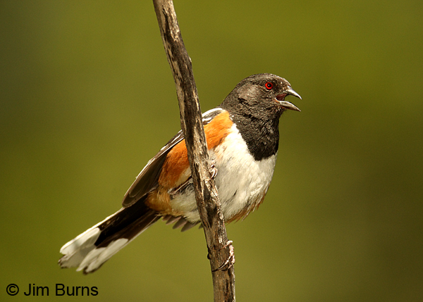 Spotted Towhee female