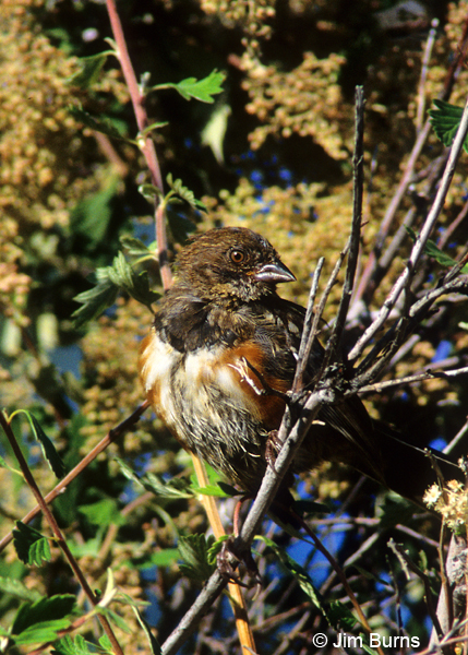 Spotted Towhee juvenile