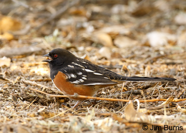 Spotted Towhee male with hackberry
