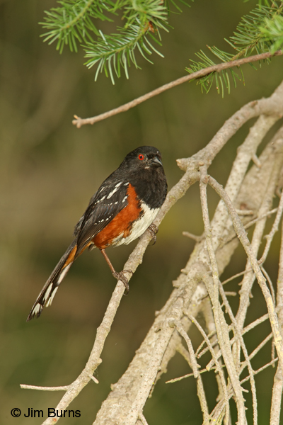 Spotted Towhee tailspots