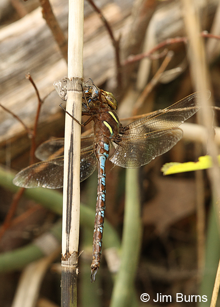 Springtime Darner male eating male Stream Bluet, Chisago Co., MN, June 2014