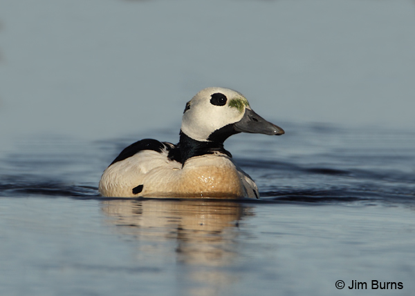 Steller's Eider male on tundra pond