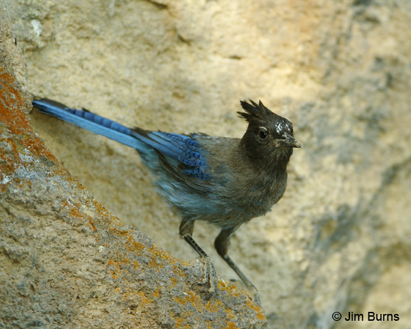Steller's Jay adult southern Rockies