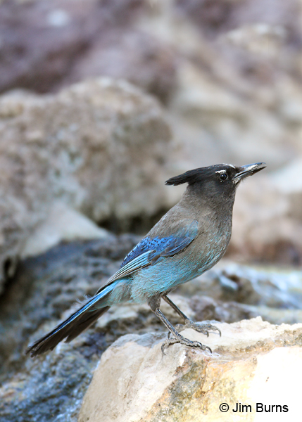 Steller's Jay at waterhole