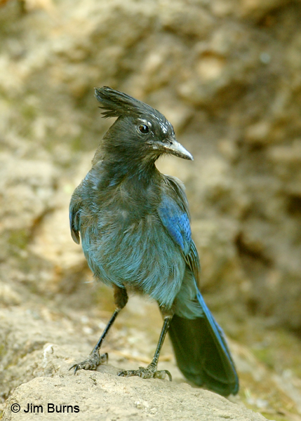 Steller's Jay on rock
