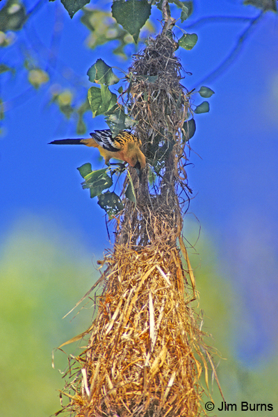 Streak-backed Oriole at nest