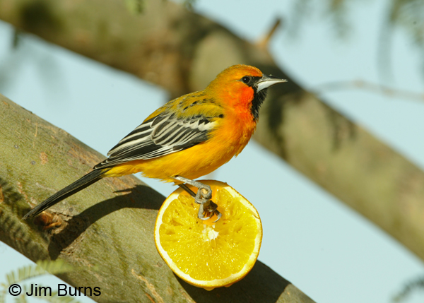 Streak-backed Oriole on orange