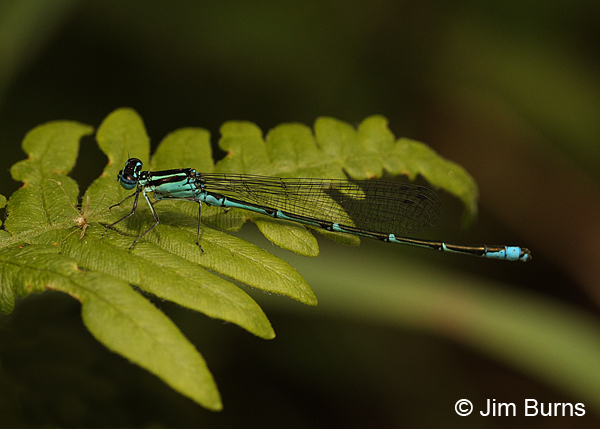 Stream Bluet male, Coos Co., NH, July 2014