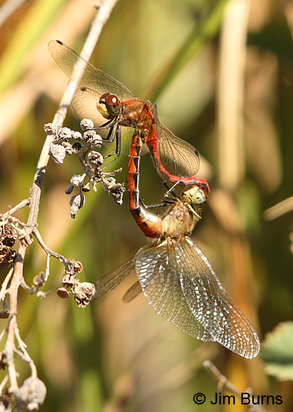Striped Meadowhawk pair in wheel, Klamath Co., OR, August 2015