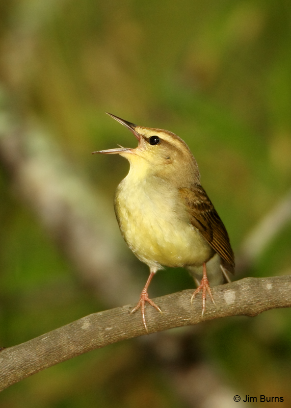 Swainson's Warbler male singing