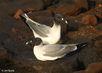 Swallow-tailed Gull pair
