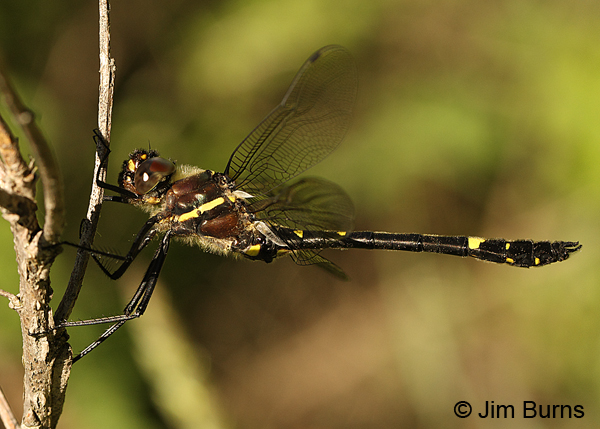 Swift River Cruiser northern male perched horizontal, Rusk Co., WI, June 2014
