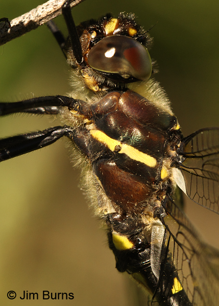 Swift River Cruiser northern male thorax close-up, Rusk Co., WI, June 2014