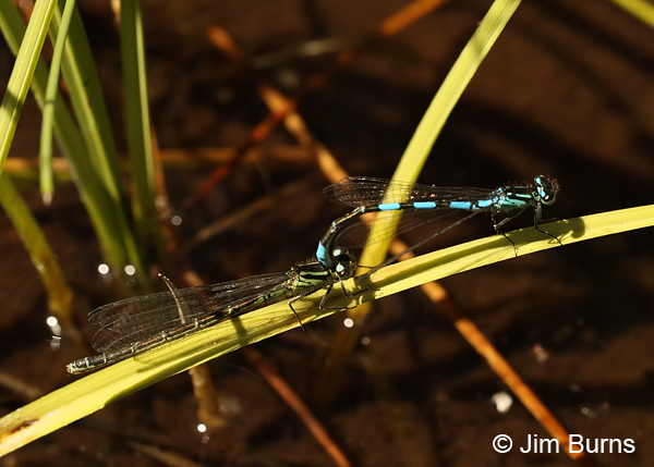 Taiga Bluet pair in tandem, Lane Co., OR, July 2013