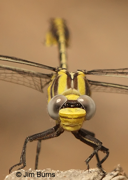Tamaulipan Clubtail male head shot, Hidalgo Co., TX. March 2013