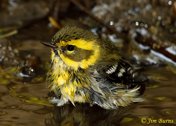 Townsend's Warbler female bathing--5730