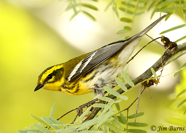 Townsend's Warbler first fall male showing obscured back spotting and black spotting on undertail coverts--7117