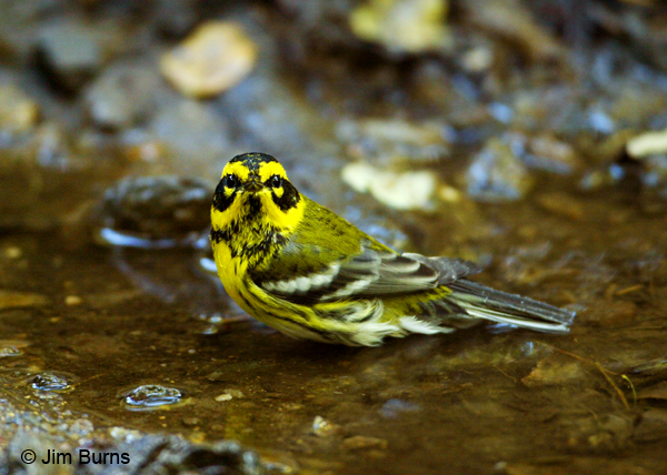 Townsend's Warbler first fall male bathing