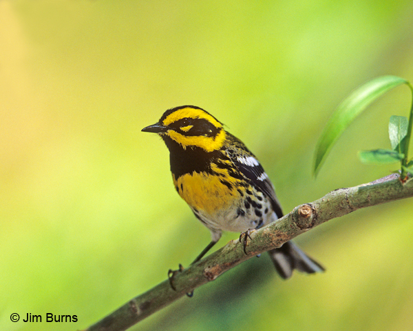 Townsend's Warbler male