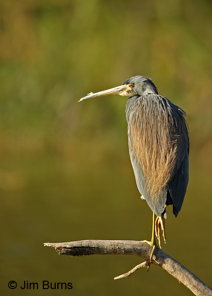 Tricolored Heron adult dorsal view.
