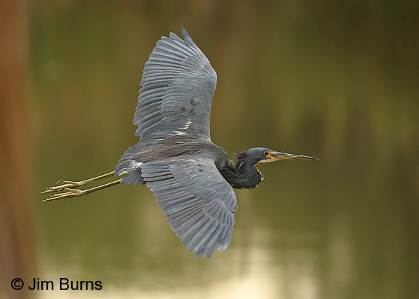 Tricolored Heron adult in flight, dorsal wing