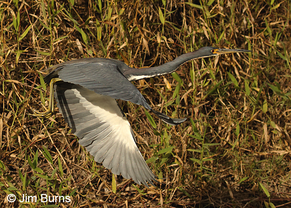 Tricolored Heron adult in flight along canal, dorsal wing