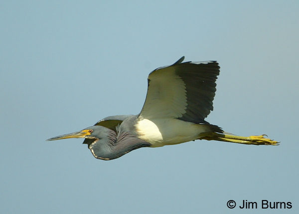 Tricolored Heron adult in flight