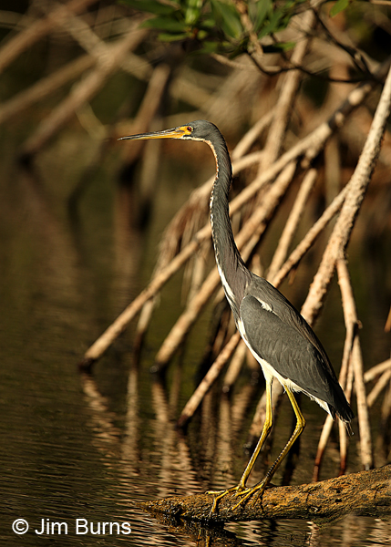 Tricolored Heron adult in mangroves