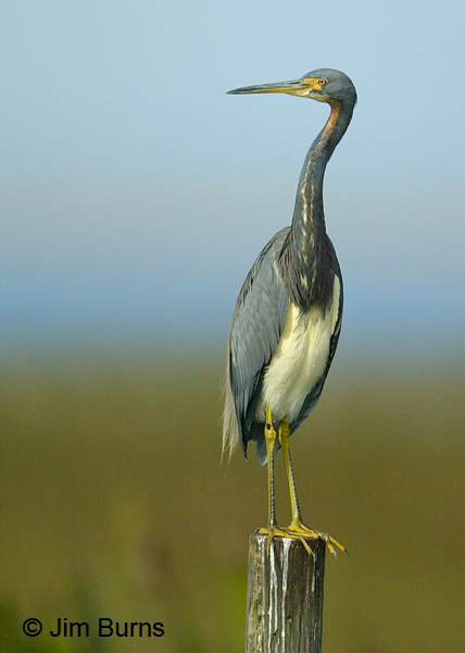 Tricolored Heron adult ventral view