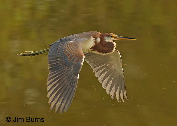 Tricolored Heron flight sequence #1