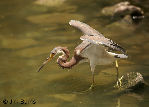 Tricolored Heron juvenile canopy feeding #2
