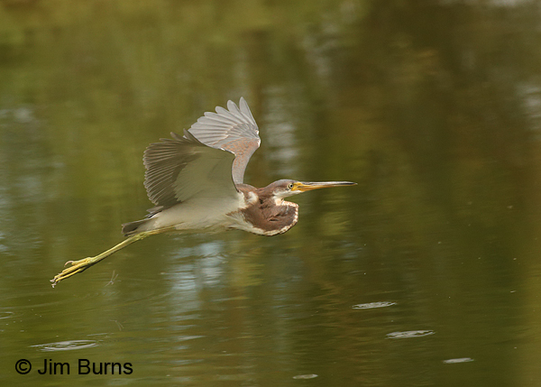 Tricolored Heron juvenile in flight ventral view