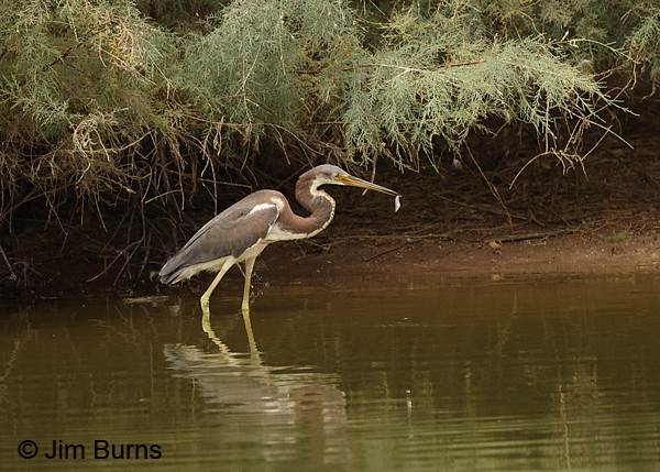 Tricolored Heron juvenile with fish #2
