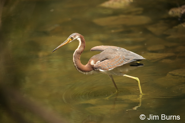Tricolored Heron juvenile canopy feeding