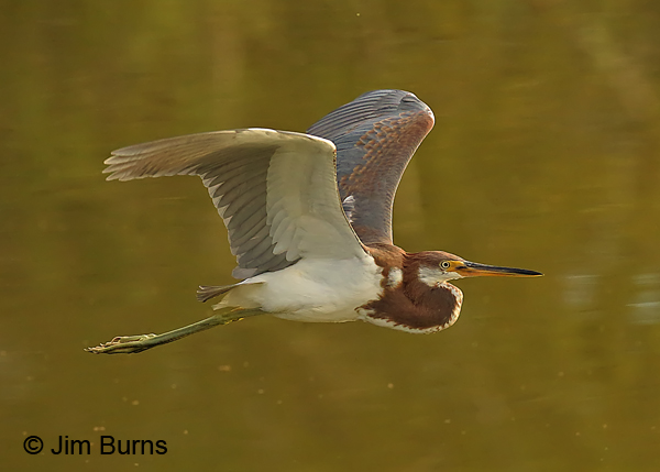 Tricolored Heron juvenile flight sequence #2