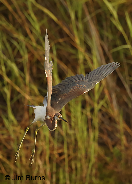 Tricolored Heron juvenile lift off sequence #1